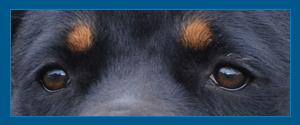 Rottweiler Cara
