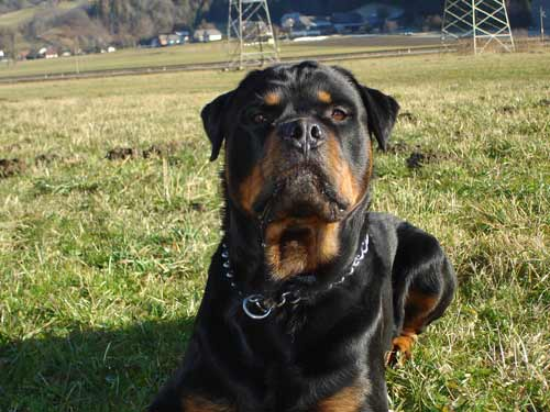Rottweiler - Ares neue HP!