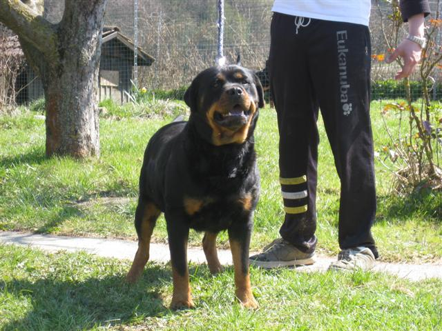 Rottweiler - Ares ist ONKEL!