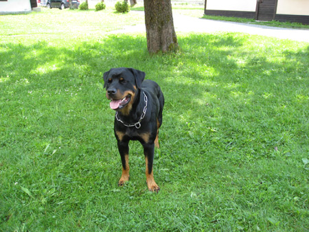 Rottweiler - Happy Birthday Baika!