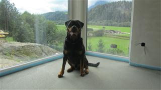 Rottweiler - Ares neues Zuhause!