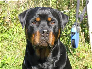 Rottweiler - Ares!